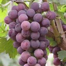 انگور خواص ضد دیابتی دارد